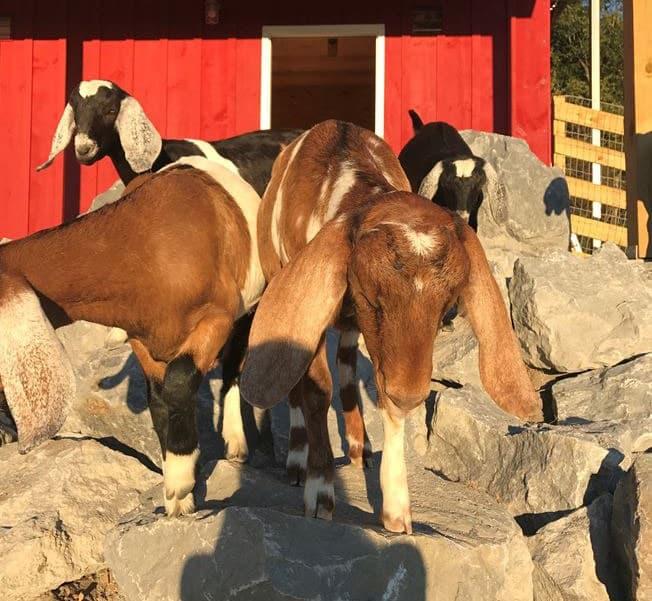 Goat Barn - Bonacio Construction